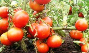 Сорт томатов Волгоградский скороспелый 323: описание и фото